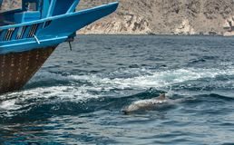 Playful humpback dolphins in a coastal waters of Musandam Oman Royalty Free Stock Photography