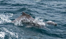 Playful humpback dolphins in a coastal waters of Musandam Oman Royalty Free Stock Image