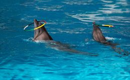 Dolphins with colored hoop Stock Images