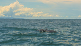 Dolphins in Costa Rica. Dolphins in the tropical pacific waters of Costa Rica Royalty Free Stock Images