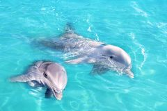 Dolphins couple swimming in blue turquoise water stock image