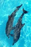 Dolphins couple in turquoise caribbean water stock photography