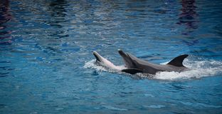 Dolphins on creative entertaining show. A couple of dolphins are ready to impress the audience with a specular show in Bangkok, Thailand Royalty Free Stock Photo