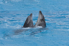 Dolphins dance waltz. In dlue wather Royalty Free Stock Images