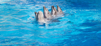 Dolphins dancing Lambada. Four dolphins and Beluga whales dancing Lambada royalty free stock photography