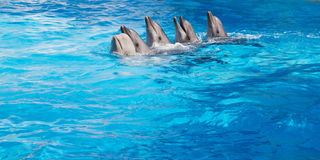 Dolphins dancing Lambada. Four dolphins and Beluga whales dancing Lambada royalty free stock image