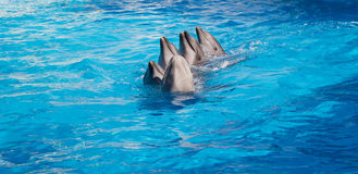 Dolphins dancing Lambada. Four dolphins and Beluga whales dancing Lambada stock photo