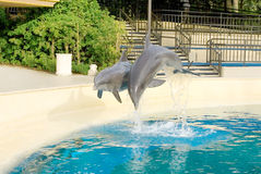 Dolphins dancing Royalty Free Stock Images