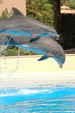 Dolphins diving. Two dolphins leap into the air, getting ready to dive into the pool Stock Photography