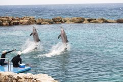 Dolphins doing tricks. Two dolphins doing tricks in the lagoon with aquarium trainers stock photography