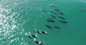 Aerial view, Dolphins in open water at Hawaii, in deep blue water _