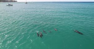 Aerial point of view, Dolphins in open water at Hawaii, in blue water _