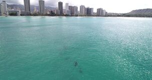Aerial view, Dolphins in open water at Hawaii, in crystal clear water _