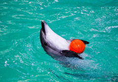 Dolphins. Dolphin playing with orange ball in dolphinarium Stock Photos