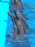 Dolphins in dolphinarium. Dolphins yearn for fish in dolphinarium Royalty Free Stock Photo