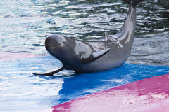 Dolphins in a dolphinarium. Address the audience and are very happy stock image