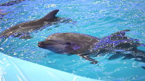 Dolphins. In dolphinarium, Full HD stock video footage
