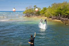 Dolphins in a dolphinarium in a mangrove by the sea. Dolphins jumping in a dolphinarium in a mangrove by the sea stock photos