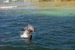 Dolphins in a dolphinarium in a mangrove by the sea. Dolphins jumping in a dolphinarium in a mangrove by the sea stock photography