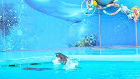 Dolphins in the Dolphinarium. Two dolphins in the Dolphinarium stock footage