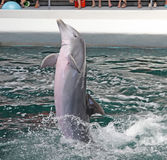 Dolphins in dolphinarium. Varna, Bulgaria royalty free stock image