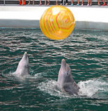Dolphins in dolphinarium Stock Photography