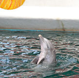 Dolphins in dolphinarium Royalty Free Stock Images