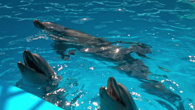 Dolphins in dolphinariums, dolphins frolic.  stock video
