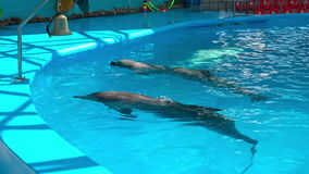Dolphins in dolphinariums, dolphins frolic.  stock footage