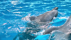 Dolphins in dolphinariums, dolphins frolic.  stock video footage