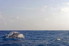 Dolphins. Swimming in Indian ocean near Africa Royalty Free Stock Images