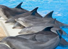 Dolphins at edge of pool Stock Photos