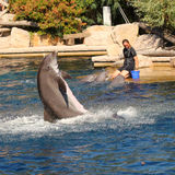 Dolphins exercising, jumping and playing. Stock Image