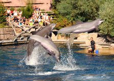 Dolphins exercising, jumping and playing. Royalty Free Stock Image