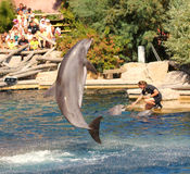 Dolphins exercising, jumping and playing. Royalty Free Stock Images