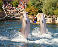 Dolphins exercising, jumping and playing. Stock Photography