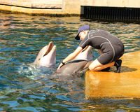 Dolphins exercising, jumping and playing. Stock Images
