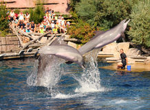 Dolphins exercising, jumping and playing. Royalty Free Stock Photo