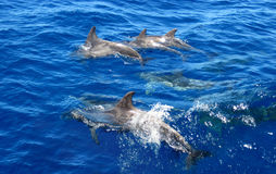 Dolphins family swimming in the ocean Stock Photography