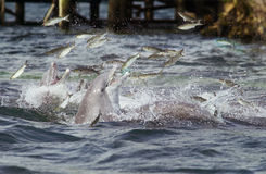 Dolphins feeding Stock Photo