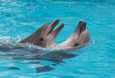 Dolphins flirting Royalty Free Stock Photos