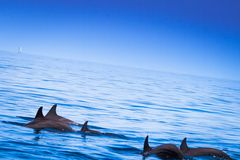 Dolphins float in blue water Royalty Free Stock Photography