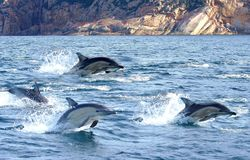 Dolphins Flying Through the Water. Forward motion is created by the whale's or dolphin's tail, or flukes, moving up and down in the water. It serves as the Stock Photo