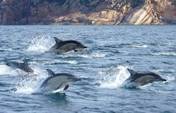 Dolphins Flying. Although dolphins are widespread, most species prefer the warmer waters of the tropic zones, but some, like the right whale dolphin, prefer Stock Photography
