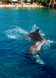 Dolphins frolic near the beach stock image