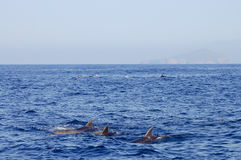 Dolphins - Galapagos - Ecuador royalty free stock images