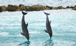 Dolphins giving a jump and dive show Stock Photos