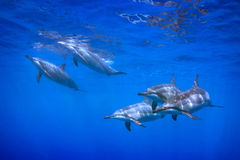 5 Dolphins. A group of dolphins at the surface Stock Photo