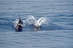 Dolphins in the Gulf of Genoa Stock Photography
