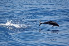 Dolphins in the Gulf of Genoa Stock Image